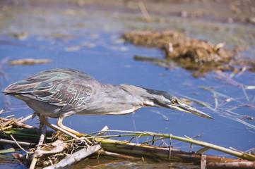 A Greenbacked Heron hunting at the river