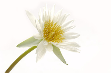 water lily blossom isolated on white
