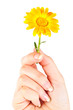 Calendula flower in hand