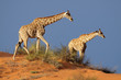 Giraffes on sand dune, Kalahari desert, South Africa