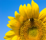 small bee is working on refined sunflower poster