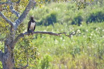 Martial Eagle with catch