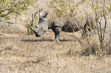 A lone male rhinosceros standing in the bushveld.