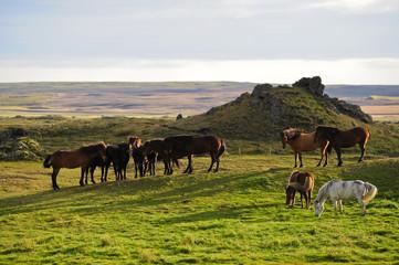 Islandpferde am Myvatn