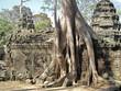 """Arbre """"fromager"""" au temple de """"TA PROHM"""" des temples d'Angkor"""