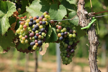 Cluster of colourfull grapes on vineyard in Pfalz, germany