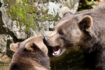 orso bruno in lotta