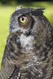 Side view of a great horned owl in captivity. poster
