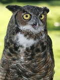 A great horned owl in captivity. poster