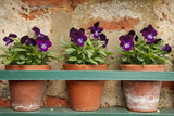 pansy flowers in three old terracotta pots poster