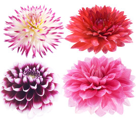 Set of dahlia on a white background