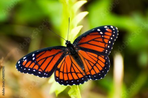 Staande foto Vlinder Viceroy Butterfly