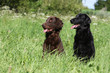 deux flat-coated retriever assis attendant un ordre
