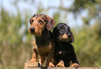 joli duo de teckels posant sur une terrasse