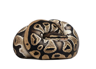 Young Python regius, curled up in front of a white background