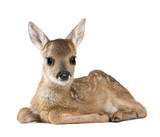 Portrait of Roe Deer Fawn, sitting against white background