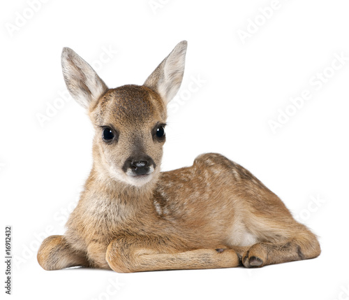 Portrait of Roe Deer Fawn, sitting against white background - 16912432