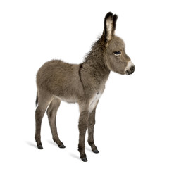 Side view of donkey foal, standing against white background