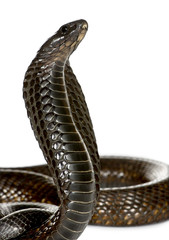 Close-up of Egyptian cobra, against white background