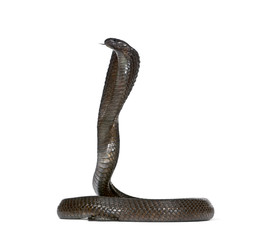 Side view of Egyptian cobra, against white background