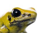 Golden Poison Frog against white background, studio shot poster