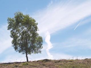 Solitary tree with jetstream sky