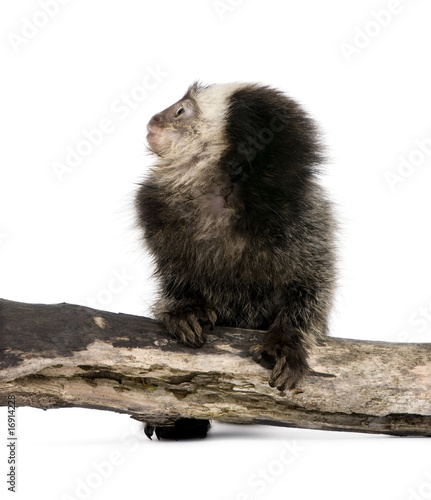 Young White-headed Marmoset in front of white background