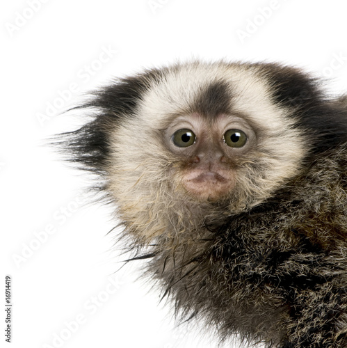 Close-up of young White-headed Marmoset against white background