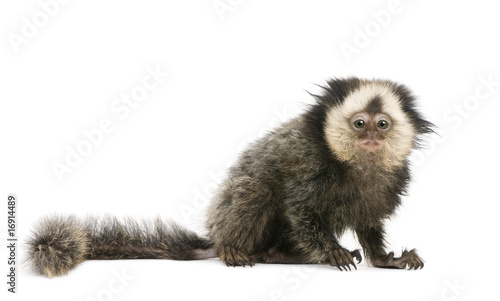 White-headed Marmoset in front of white background