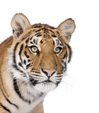 Close-up of Bengal Tiger in front of a white background poster