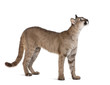 Puma cub, standing and looking up against white background