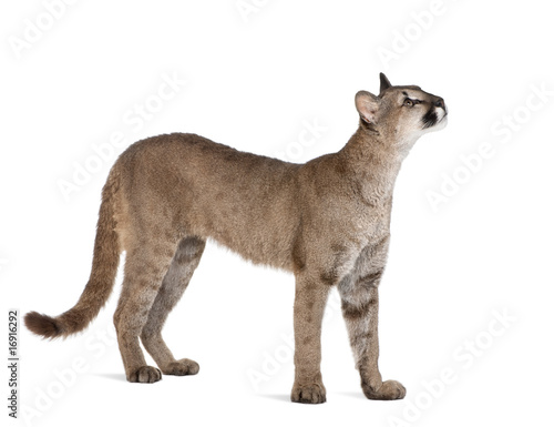 Foto op Plexiglas Puma Puma cub, standing and looking up against white background