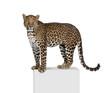 Portrait of leopard on pedestal against white background
