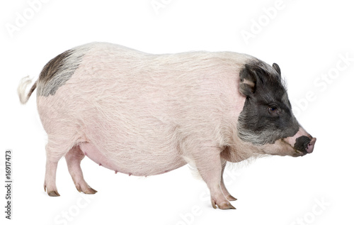 Gottingen minipig standing against white background