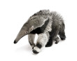 roleta: Young Giant Anteater, walking in front of white background
