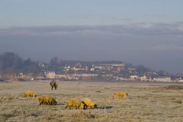 Moutons de près salès (mouton d'estran) en Baie de Somme