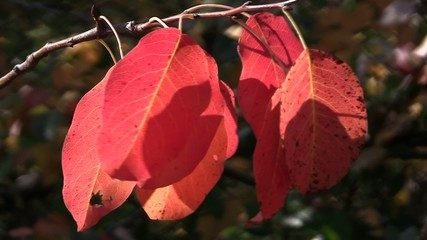 Rosy pear leaves dancing in a wind in autumn orchard
