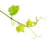 Fresh isolated grapevine shoot
