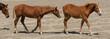Two Horses Walking