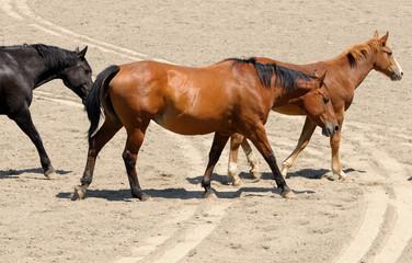 3 Horses Walking