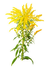 Great Goldenrod Flower