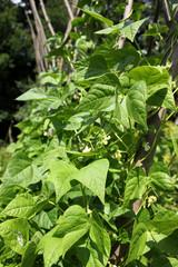 Bohnenpflanze