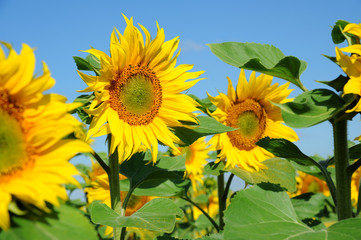 Sonnenblumen 11