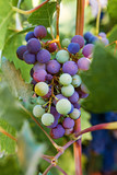 Wine Grape Cluster with Fall Colors