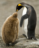 King Penguin Adult Feeding Downy Chick