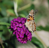 Hungarian Butterfly on Purple Flower poster