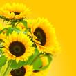 image d'une fleur tournesol, des tournesols sur fond jaune