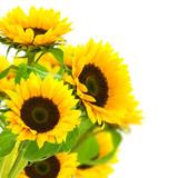 Fototapety image d'une fleur de tournesol isolé sur fond blanc