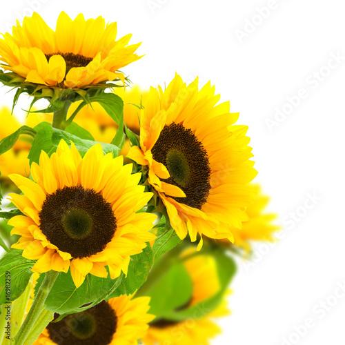 Foto op Aluminium Zonnebloem image d'une fleur de tournesol isolé sur fond blanc
