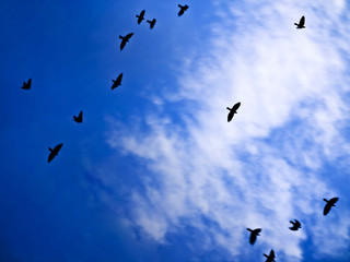daws flock in skies